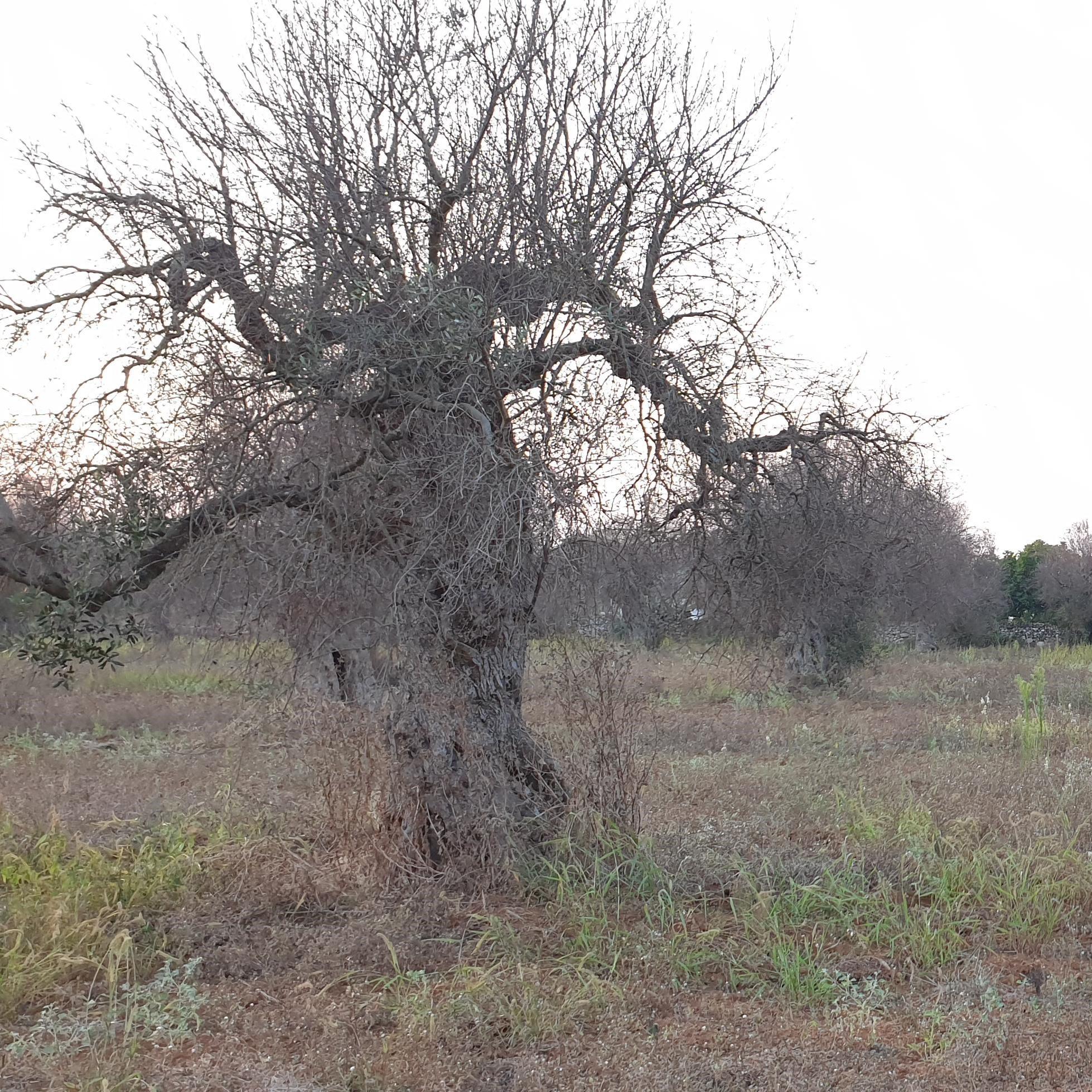 Xylella Olivenbaum in Apulien